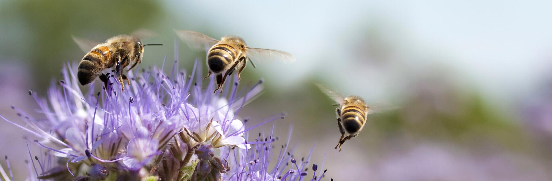 les abeilles sauvages piliers de notre agriculture